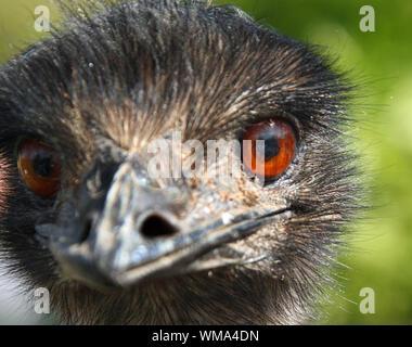 Detail Shot Of Emu - Stock Photo