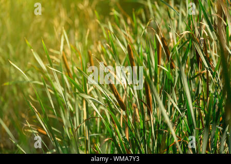 Blooming Lesser Bulrush in the morning light. Aquatic vegetation. Pond Decoration. End of the summer. Europe, Poland Mazovia. - Stock Photo