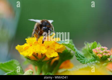 Close-up Of Honey Bee Pollinating On Yellow Lantana Camara Flower - Stock Photo
