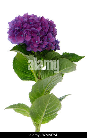 Lacecap Hydrangea (macrophylla normalis) isolated on white background. - Stock Photo
