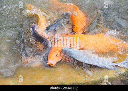 Golden carp fish tilapia or orange carp and catfish eating from feeding food on water surface ponds / Freshwater fish farm - Stock Photo