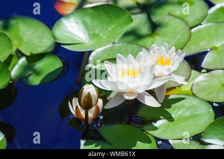 Two white lilies and one flower bud blossom on blue water and green leaves background close up, three beautiful waterlilies blooming on pond, lotus - Stock Photo