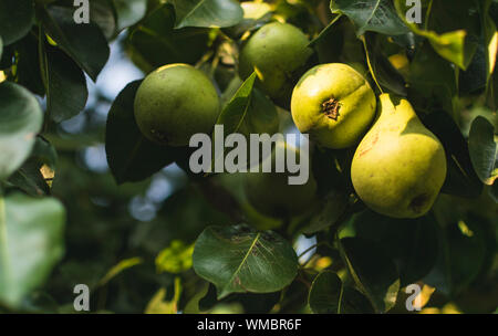 Low Angle View Of Pears Growing On Tree - Stock Photo