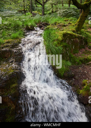 A close up of a small fast flowing stream through a green forest floor in Wales during the summer, Wales, UK - Stock Photo