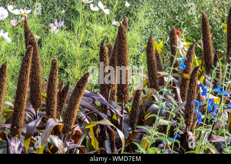 Pennisetum glaucum 'Purple Majesty', Pearl Millet beautiful vibrant plant in a flower bed row, ripening ear of grain - Stock Photo