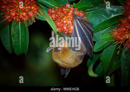Lesser Short-nosed Fruit Bat - Cynopterus brachyotis  species of megabat within the family Pteropodidae, small bat during night that lives in South an - Stock Photo