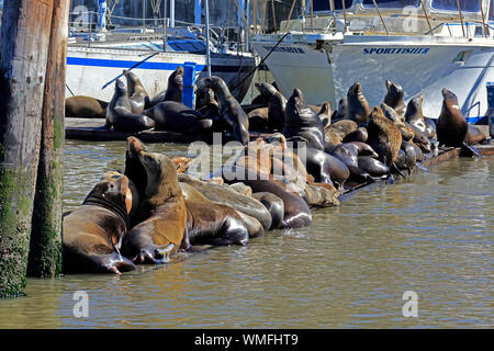 Californian Sea Lion, group of adults, Elkhorn Slough, Monterey, California, North America, USA, (Zalophus californianus) - Stock Photo