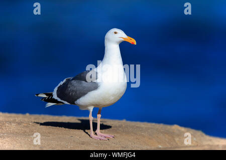 Western Gull, adult, Monterey, California, North America, USA, (Larus occidentalis) - Stock Photo