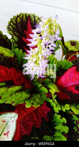 Close-up Of Coleus Leaves With Flowers - Stock Photo