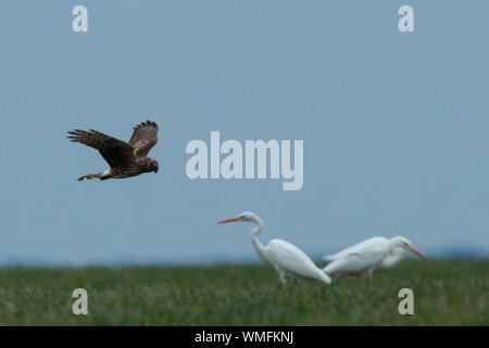 hen harrier, great egret, (Circus cyaneus) - Stock Photo