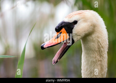mute swan, (Cygnus olor), male, Schonberg, Mecklenburg-Vorpommern, Germany - Stock Photo