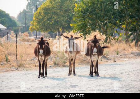 Hausesel, Maun, Botswana, Afrika (Equus asinus) - Stock Photo