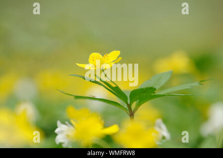Yellow Anemone, Sachsen-Anhalt, Germany, (Anemone ranunculoides) - Stock Photo