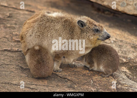 A hyrax with two pups, sitting on a rock - Stock Photo