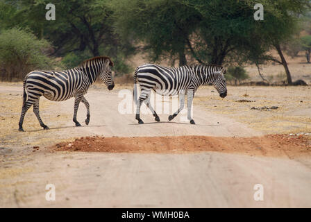 Two zebras crossing a dirt road in the Ruaha National Park - Stock Photo