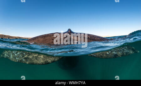 Close up split view of the tail fin of an adult southern right whale, Eubalaena australis, Nuevo Gulf, Valdes Peninsula, Argentina. - Stock Photo