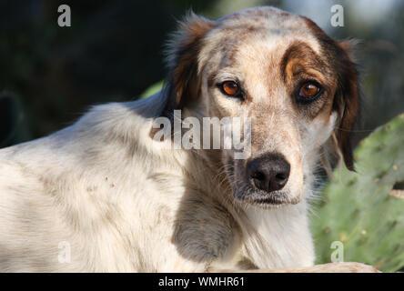 Portrait eines Hundestreuners aus Sizilien - Stock Photo