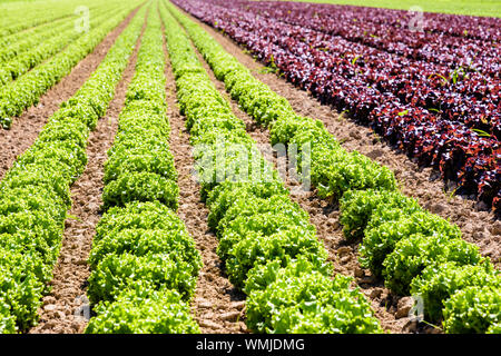 Rows of green and red oak leaf lettuce grown in open field under a bright sunshine in the suburbs of Paris, France. - Stock Photo