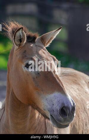 Przewalski horse head portrait (Equus ferus przewalskii) with afternoon sunlight - Stock Photo