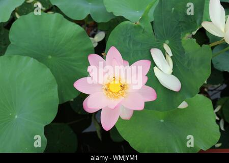 High Angle View Of Lotus Flower Blooming Outdoors