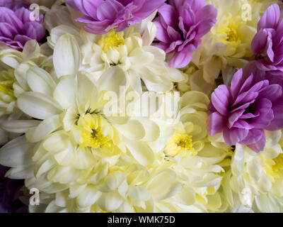 Flower background with amazing white and purple chrysanthemums. Bouquet of gentle golden-daisy flowers. - Stock Photo