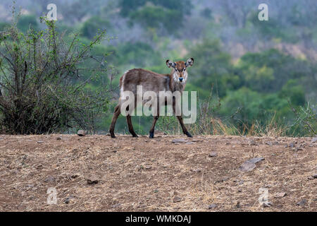 baby newborn waterbuck antelope in kruger park south africa portrait - Stock Photo