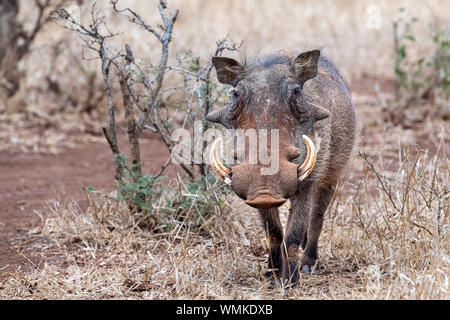 warthog in kruger park south africa close up - Stock Photo