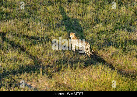 Aerial view of a cheetah walking in the grass, in the morning light - Stock Photo