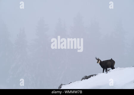 chamois, standing on a rock in a winter setting - Stock Photo