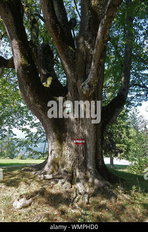 ALTE LINDE . OLD LIME - Stock Photo