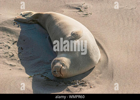 a smiling elephant seal cow sleeping and sunbathing on the beach near San Simeon in California with her belly facing the sun - Stock Photo