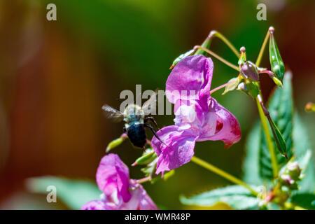 Honey bee pollinating a Himalayan Balsam. Impatiens glandulifera Invasive riverside plant