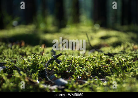 Beautiful bright green moss on the floor in the forest with trees, macro view, close up, nature - Stock Photo