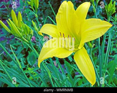 Close-up Of Yellow Amaryllis Blooming On Plant - Stock Photo