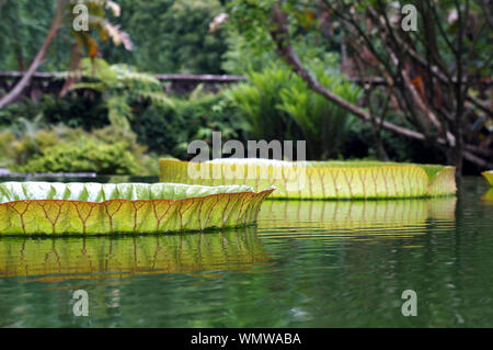 Giant Victoria Amazonia Lily, Victoria cruziana. - Stock Photo