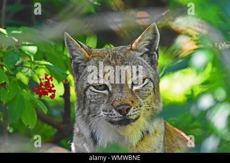 Lynx in Canada resting next to red berries. - Stock Photo
