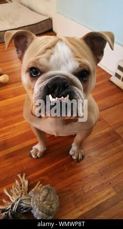 High Angle View Portrait Of English Bulldog On Hardwood Floor At Home - Stock Photo