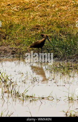 Hamerkop (Scopus umbretta). Busanga Plains. Kafue National Park. Zambia - Stock Photo