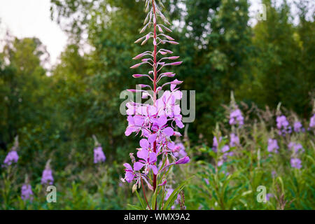 Fireweed herb in bloom - Stock Photo