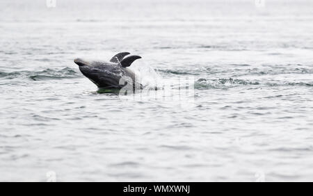 Dolphins in their natural environment of the Moray firth hunting for salmon and having a playful moment - Stock Photo