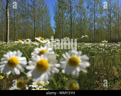 Daisies Blooming In Forest - Stock Photo