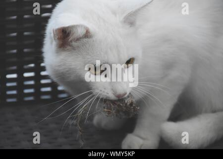 Close-up Of Cat Carrying Mouse In Mouth - Stock Photo