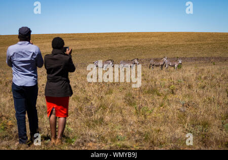 Malawian man and woman tourists take photographs of Zebra (Equus quagga) in Nyika National Park, Malawi. - Stock Photo