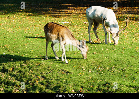 Fallow Deer Grazing On Field