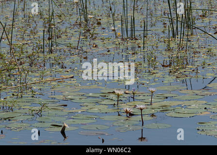 Water lilies in the Thamalakane River near Maun, Botswana - Stock Photo