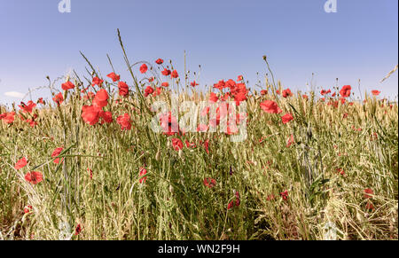 Poppies Growing In Field Against Clear Sky - Stock Photo