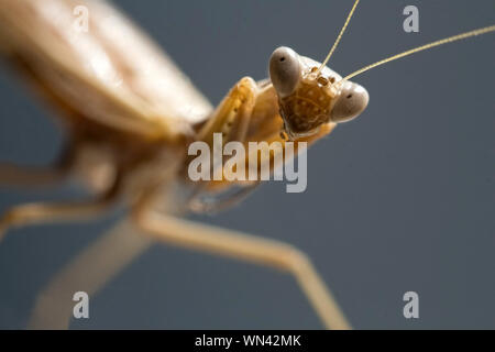 Sight of a mantis. Portrait of an insect on a blurred gray background. Selective focs macro image. - Stock Photo