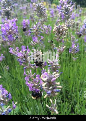 Bees Pollinating On Lavender Flowers - Stock Photo