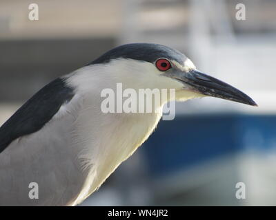 Close-up Of Black Crowned Night Heron - Stock Photo