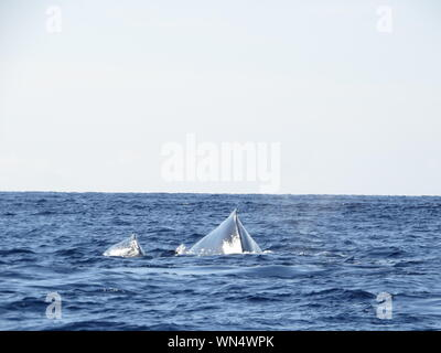 Humpback Whale Swimming In Sea Against Clear Sky - Stock Photo